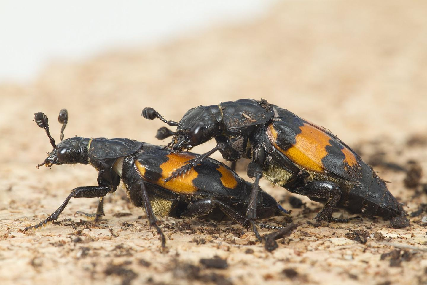 Male beetles that have more sex are over-compensating
