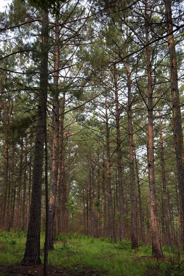 Rumors of southern pine deaths have been exaggerated
