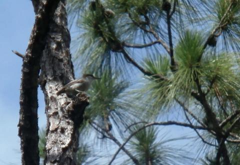 Bahama Nuthatch Feared Extinct Rediscovered In The Bahamas Science